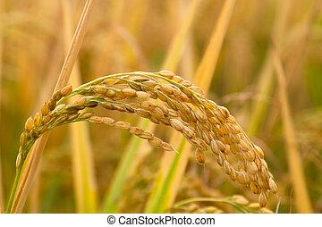 Rice paddy - Yellow rice paddy before harvesting