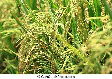 Rice plant at harvest season