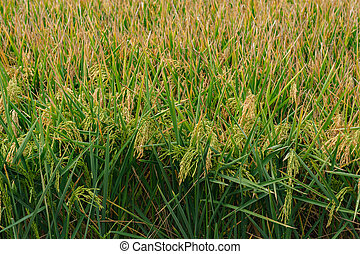 rice plant in field