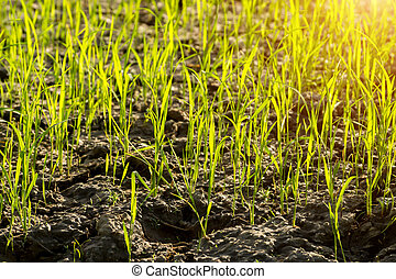 Rice plant in rice field with sunlight.