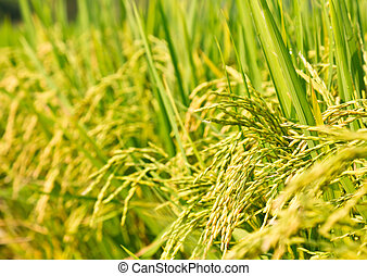 Rice plant panicle closeup - Rice field with seed panicles....