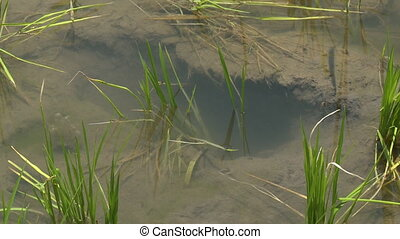 Rice plant rising from the water