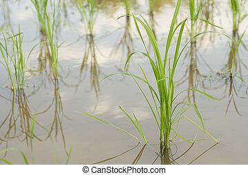Rice plant.