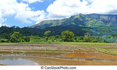 Rice plantation in Sri Lanka