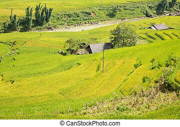 Rice plantation top view