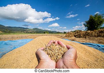 Rice seed in farmer hand