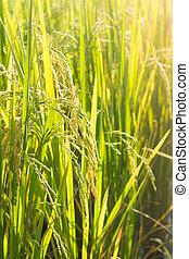 Rice seed on plant.