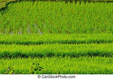 Rice seedlings fields