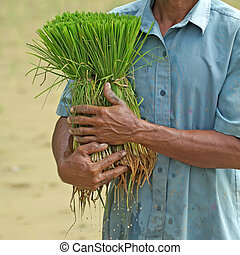 rice seedlings in a farmer hands