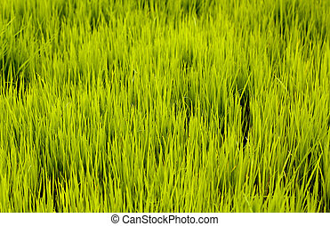 Lush cultivation of young rice seedlings in a farm land