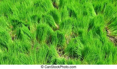 Rice Seedlings on a Rural Plantation in Bali, Indonesia -...