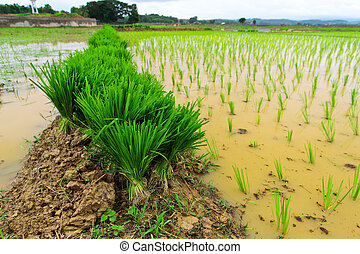Rice seedlings prepare for grow in farm of Thailand