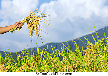 Rice seeds in hands of farmers