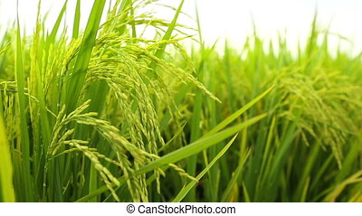 Rice stalk in Paddy field