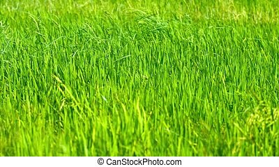 Video 3840x2160 - Young, green stalks of rice, swaying in a steady breeze in a field on a Southeast Asian plantation.