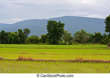Rice terrace and mountains on a horizon