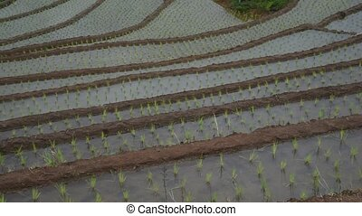 Rice terraced. - Rice terraced at Pa Bong Piang village, Mae...