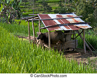Rice terraces - Cow on a Balinese rice terraces