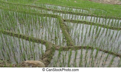 Rice terraces on mountain. Green and irrigated paddy field...