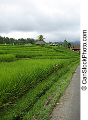 Ricefield and huts in Bali