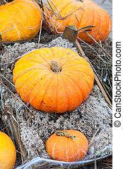 Rich autumn harvest of orange ripe pumpking
