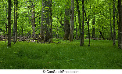 Rich deciduous stand of Bialowieza Forest in springtime