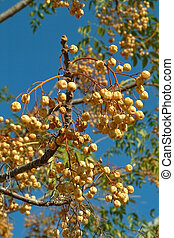 Rich harvest - A tree branch with clusters of fruits on a...