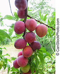 Rich harvest of red ripe plums on the tree