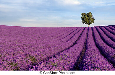 Image shows a rich lavender field in Provence, France, with a lone tree in the background