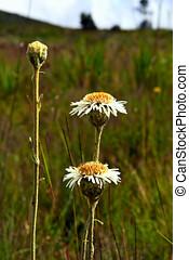 Richeterago petiolata family Asteraceae - Flowers of the...
