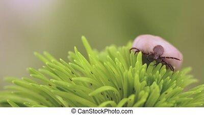 ricinus), (ixodes, danger, insecte, tique