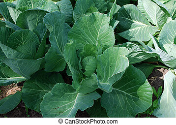 Ridge young cabbage growing on the farm