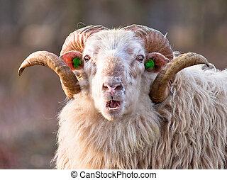 Sheep with big horns putting up ridiculous face