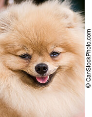 Ridiculous smiling spitz-dog