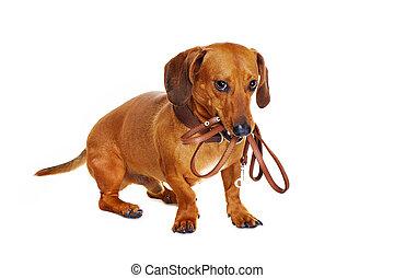 riem, dachshund, vasthouden, dog
