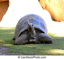 riesig, 2, schildkröte