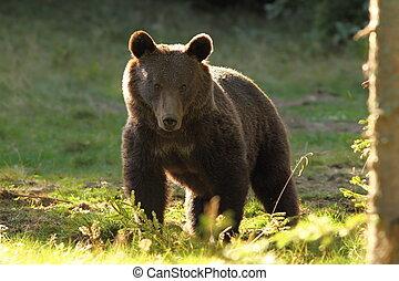 hispanischer Bär