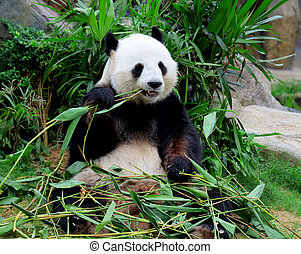 riesig, essende, panda, bambus