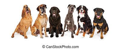 riesig, rasse, hund, gruppe
