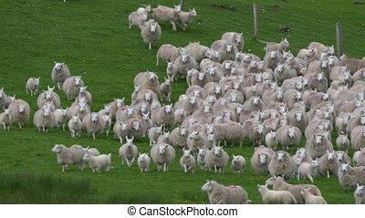 riesig, schafe, herde, schottland, -, ungraded, version