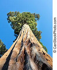riesig sequoia, redwood, bäume, mit, blauer himmel