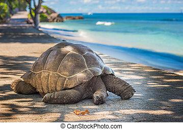 riesig, seychellen, schildkröte