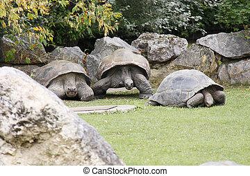 riesig tortoise