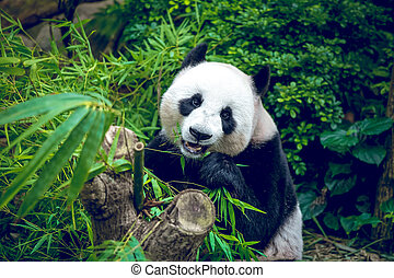 riesiger panda