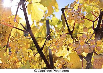 Riesling wine grapes in autumn near Kiedrich, Rheingau, Hesse, Germany