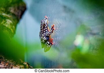 Riggenbach's reed frog, Hyperolius riggenbach in terrarium
