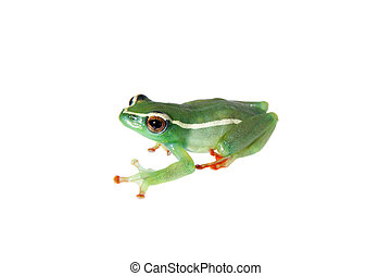 Riggenbach's reed frog, male, Hyperolius riggenbach, on white