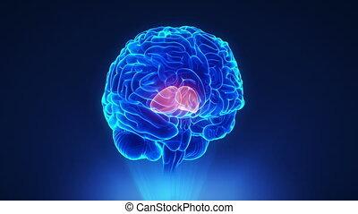 Right thalamus in loop brain concept