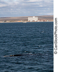 A southern right whale surfaces just off the beach at Puerto Madryn, Argentina.