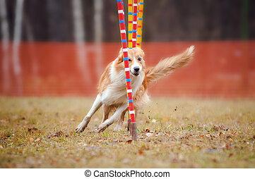 rigolote, agilité, chien
